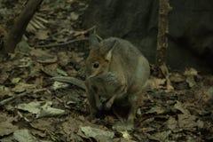 Австралийский грызун стоковые фото