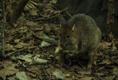 Австралийский грызун стоковое фото rf