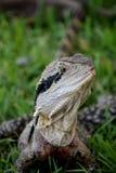 Австралийский дракон воды, Квинсленд, Австралия стоковое изображение rf