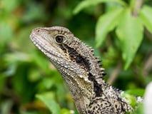 Австралийский дракон воды на Мужественный-Пляж-побережье Стоковое Фото