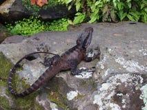 Австралийский дракон воды принятый на сады Сиднея королевские ботанические стоковое изображение rf