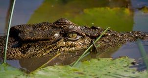 Австралийский конец крокодила соленой воды вверх Стоковые Изображения