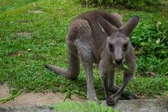 Австралийский красный кенгуру ест траву Стоковые Изображения