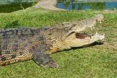 Австралийский крокодил на траве в Квинсленде, Австралии Стоковое Фото