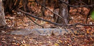 австралийский крокодил пресноводный Стоковое Фото