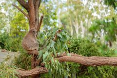 Австралийский медведь коалы уснувший в эвкалипте стоковое фото