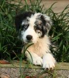 австралийский мыжской чабан щенка Стоковая Фотография RF