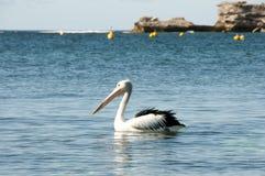 Австралийский пеликан - остров Rottnest стоковое фото rf