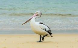 австралийский пеликан Стоковая Фотография