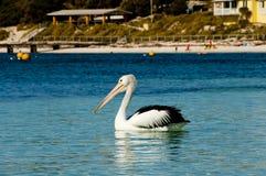 австралийский пеликан стоковая фотография rf