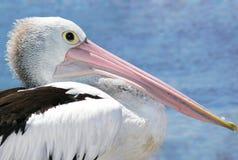 австралийский пеликан Стоковые Фотографии RF