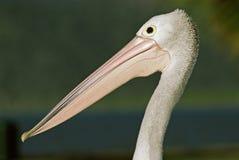 Австралийский пеликан, Brilpelikaan, conspicillatus Pelecanus стоковое фото
