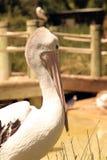австралийский пеликан pelecanus conspicillatus стоковые изображения rf