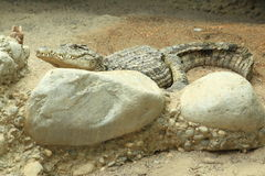 Австралийский пресноводный крокодил Стоковое фото RF
