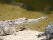 Австралийский пресноводный крокодил Стоковая Фотография