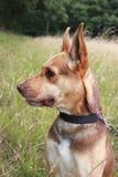 Австралийский профиль стороны собаки kelpie Стоковые Изображения