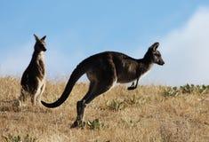 австралийский серый кенгуру Стоковая Фотография
