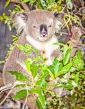 Австралийский серый медведь коалы в дереве евкалипта, Сиднее, Austral Стоковые Изображения RF