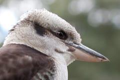австралийский смеяться над kookaburra крупного плана птицы Стоковые Изображения RF