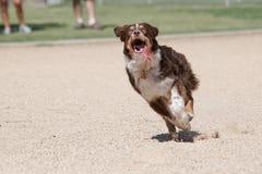 Австралийский чабан при его язык вне бежать для игрушки Стоковые Фото