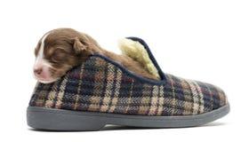 Австралийский щенок чабана в тапочке стоковые фото