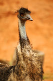 австралийский emu Стоковая Фотография