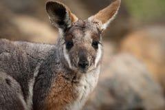 австралийский footed желтый цвет wallaby утеса Стоковые Изображения