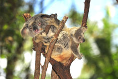 австралийский koala медведя младенца Стоковые Фото