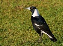 австралийский magpie Стоковые Фотографии RF