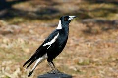 Австралийский Magpie Стоковые Изображения RF