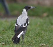 австралийский magpie Стоковая Фотография RF