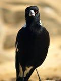 австралийский magpie Стоковое Фото