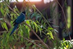 Австралийский mimetic попугай в зоопарке Израиля Попугай Ringneck австралийца стоковые фотографии rf