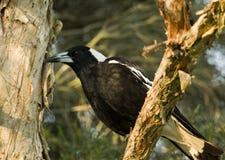 австралийский tibicen magpie gymnorhina Стоковые Фото