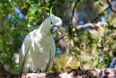 австралийским сера crested cockatoo Стоковое Изображение RF