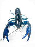 Австралийское пресноводное голубое Yabby Yabbie Стоковые Фото