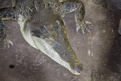 Австралийское фото крокодила, как затишье но внезапно неимоверно скоростной Стоковая Фотография RF