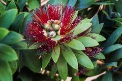 Австралийское цветение щетки бутылки Стоковые Изображения RF