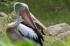 Австралийское conspicillatus Pelecanus пеликанов Стоковое фото RF