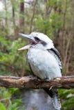 австралийское kookaburra стоковое фото rf