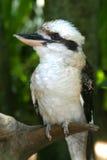 австралийское kookaburra Стоковая Фотография