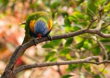 Австралийское lorikeet радуги на ветви Стоковые Изображения