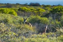 Австралийское ` s кенгуру на заходе солнца в одичалом Стоковые Изображения RF