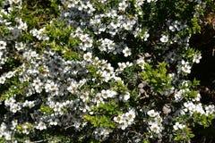 Австралия, ботаника, дерево чая Стоковое Изображение