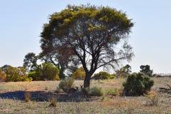 Австралия, национальный парк Mungo, кенгуру Стоковая Фотография RF
