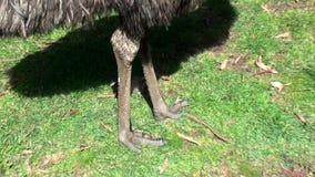 Австралия, остров кенгуру, отклонение в захолустье, конец вверх по взгляду эму акции видеоматериалы