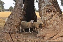 Австралия, южная Австралия, природа, овцы Стоковые Изображения