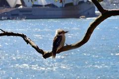 Австралия, NSW, Сидней, птица Стоковые Фотографии RF