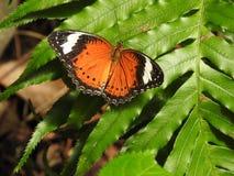 австралийская бабочка стоковое изображение rf