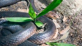 Австралийская восточная коричневая змейка Стоковые Фото